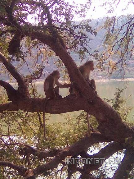 Индийские обезьянки на дереве