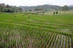 Рисовые террасы Явы