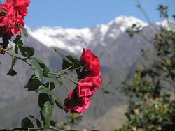 Гималайские розы