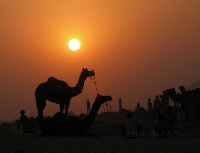 Пушкар мела, верблюд