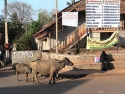 Сирси. Мусульманка и буйволица