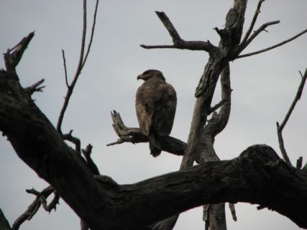Индийский орел