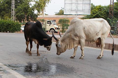 Коровы на улицах Джодхпура