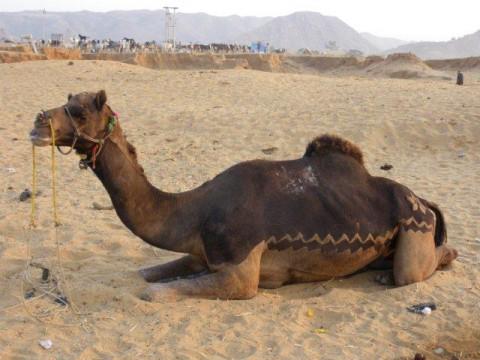 Пушкар, верблюд