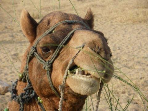 Джайсалмер, сафари, верблюд