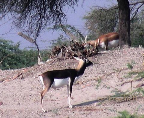 антилопы, вторая рыжая рога чешет
