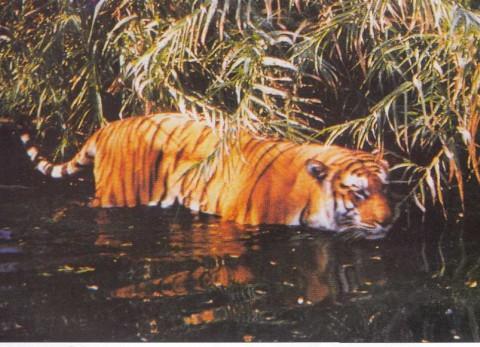 бенгальский тигр в Сундербанс