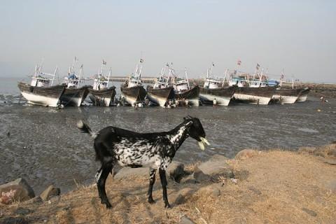 Морская коза с острова Элефанта