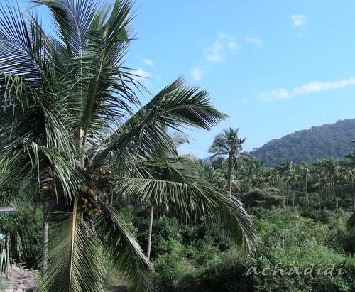 Кокосово-пальмавая роща в Агонде