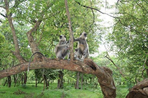 Окрестные джунгли кишат лангурами