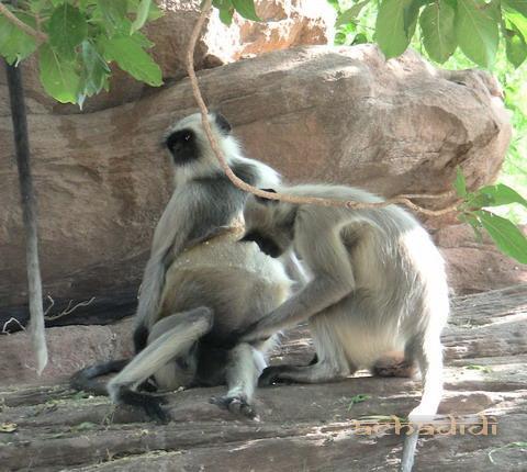 Мандор, Лангуры, подготовка к родам