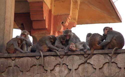 Джайпур. В Храме Ханумана