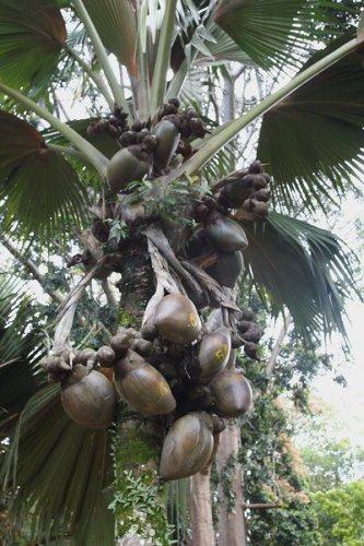 Сейшельская пальма и ее орешки