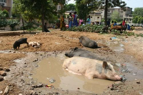 На улице: свинская идиллия