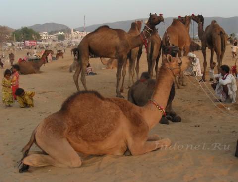 Верблюды на ярмарке Пушкара, находяшейся недалеко от города