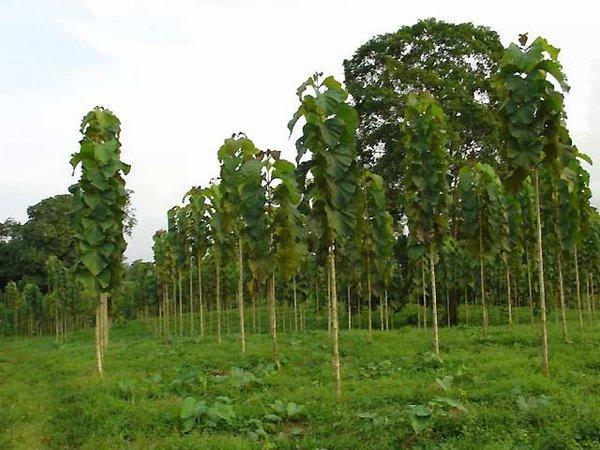Молодые тиковые деревца на плантации в Индии