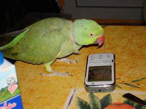 Тотоша - российский попугай индийского происхождения