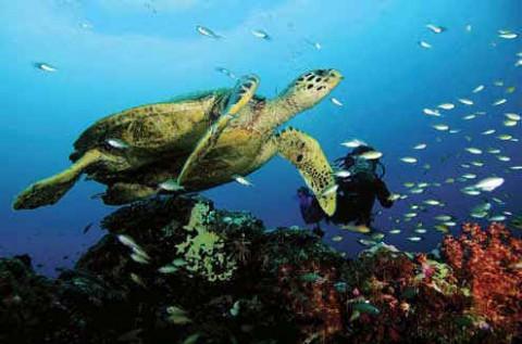 Морская черепаха бисса с водолазом. Лакшадвип