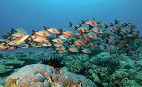 Лакшадвип, горбатые рифовые окуни