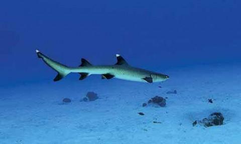Лакшадвип,  рифовая акула
