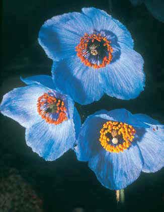 Долина цветов. Голубые маки