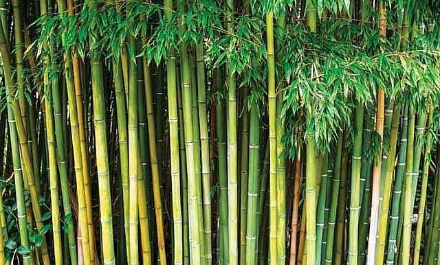 бамбук в Индии