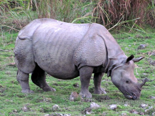 Носорог. Нац.парк Казиранга