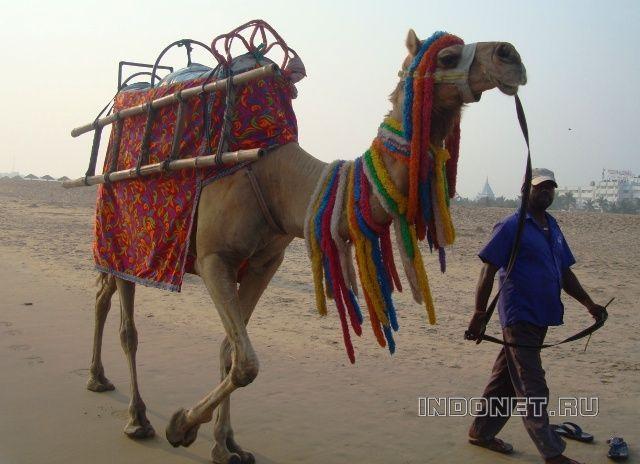 Индийский верблюд