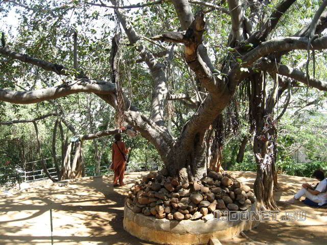 Путтапарти, дерево медитации