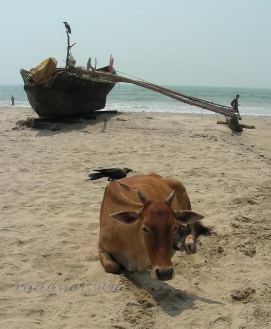 Корова в Арамболе