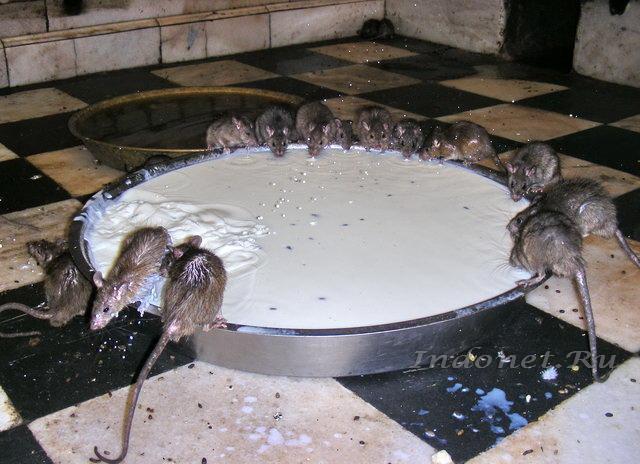 Священные крысы