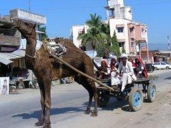 Раджастан, верблюд