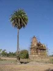 дерево Кхаджур