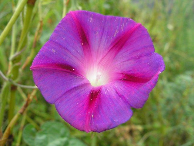 цветы гималаев