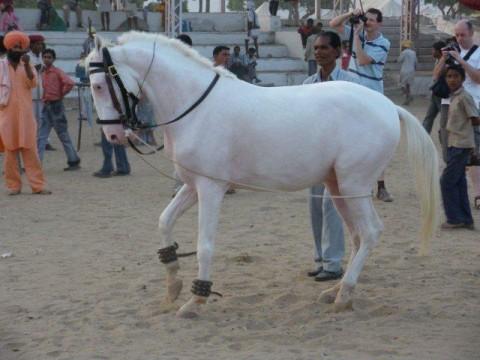 Пушкар, конь-альбинос