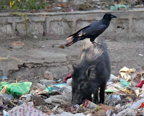 Индия. Друзья - ворона и свинья