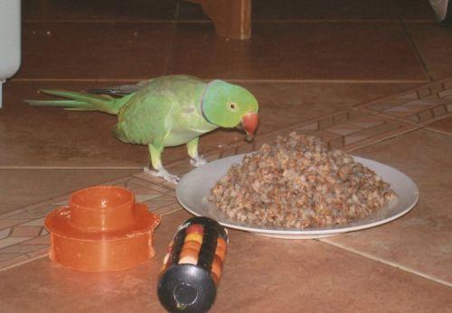 В естественных условиях ожереловый попугай гречку не ест...