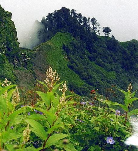 Цветы перевала Чандракхани