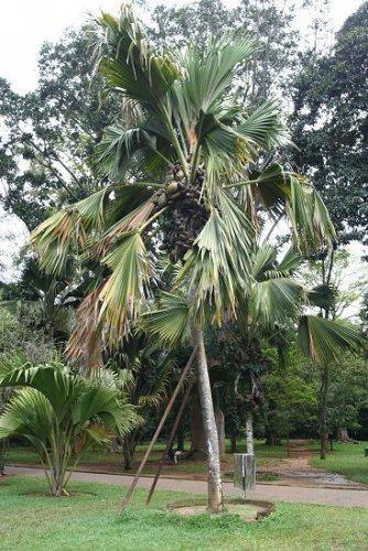 Сравнительно молодая пальма в Пераденье