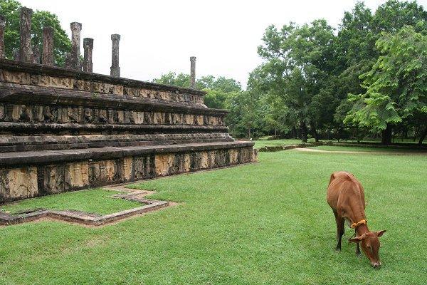 Музейная корова