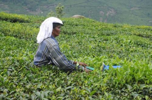 Чайная плантация в дистрикте Удукки, Керала. Фото H. Vibhu