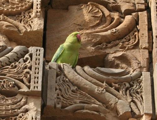 Самочка ожерелового попугая отдыхает на стене древней мечети у Кутб Минара, Дели
