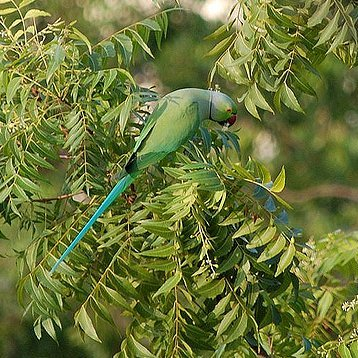 Дикий ожереловый попугай в Дели. Автор снимка - Yuri S(он же WiRed), наш человек в Ченнае