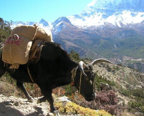 Непальский буйвол с большими глазами