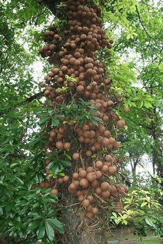 Ядерное дерево