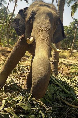 Слон из Кералы, фото С.Соловьева