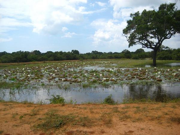 Шри Ланка, пруд с лотосами