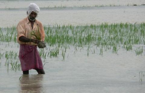 посевы риса, залитого водой, гибнут на 5 день