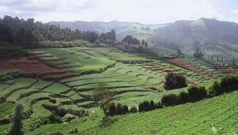 чайные плантации в Ути, Тамилнаду